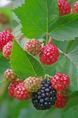 pic of blackberries  - Blackberry plant with red and black fruits - JPG