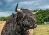 stock photo of highland-cattle  - A Photograph Of Highland Longhorn Cattle In A Field - JPG