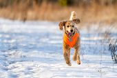image of standard poodle  - Golden standard poodle running towards the photographer in winter - JPG
