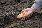foto of plowed field  - Human hand holding corn seed sowing time in field