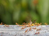 stock photo of ant  - Red ant team workGreen tree ant Weaver ant - JPG