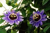 stock photo of tendril  - Two Purple Haze Passiflora flower an evergreen tendril climbing vine - JPG