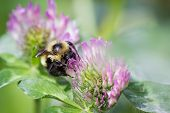 stock photo of bumble bee  - close up of a bumble bee feeding on a purple flower  - JPG