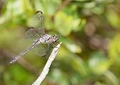 picture of stick-bugs  - Light colored dragonfly on a stick with leaves in the background - JPG