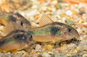 stock photo of freshwater fish  - Tropical freshwater aquarium fish from genus Corydoras - JPG