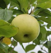 stock photo of adam eve  - Green apple hanging from branch with leaves in background - JPG