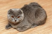 picture of scottish-fold  - Portrait of a scottish fold breed blue cat