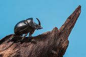 foto of exoskeleton  - Rhinoceros beetle on tree trunk and blue background - JPG