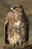 pic of buzzard  - Common Buzzard on Branch - JPG