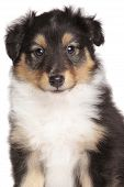picture of sheltie  - Shetland Sheepdog puppy month - JPG