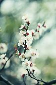 foto of apricot  - Apricot tree flower with buds blooming at springtime - JPG