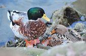 foto of male mallard  - Common male Mallard duck on a lake beach - JPG