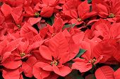 stock photo of poinsettia  - closeup of red poinsettia christmas flower  at garden - JPG