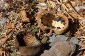 stock photo of baobab  - Baobab tree fruit and seeds have fallen on the ground and are dry - JPG