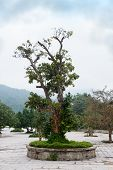 stock photo of bonsai tree  - Bonsai tree in Temple Linh Ung Pagoda Vietnam Danang  - JPG
