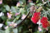foto of fynbos  - Cape sugar bird looking for nectar in red flowers of a bottle brush - JPG
