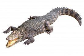 image of crocodile  - Crocodile isolated  - JPG