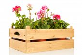 picture of geranium  - Several pink Geraniums in wooden crate isolated over white background - JPG