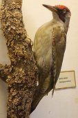 image of taxidermy  - Woodpecker black taxidermy objects animals birds exhibit - JPG