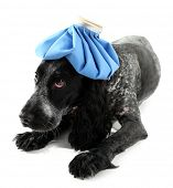 stock photo of hot-water-bag  - Sick dog with ice bag - JPG