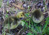 picture of mother goose  - The young geese are eating fresh grass - JPG