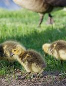 image of mother goose  - Cute young geese on the green grass - JPG