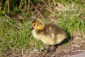 stock photo of mother goose  - The cute chick of the cackling geese - JPG