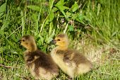 stock photo of mother goose  - Two young geese are eating the green grass - JPG