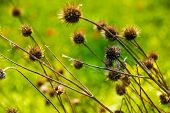 picture of weed  - Photo of the Burr weed, plant background ** Note: Soft Focus at 100%, best at smaller sizes - JPG