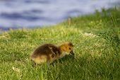 stock photo of mother goose  - Cute chick is searching something in the grass - JPG