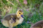 image of mother goose  - The cute chick close-up on the grass backgound