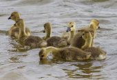 picture of mother goose  - Funny swimming for a family of young geese - JPG