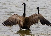foto of mother goose  - Beautiful strong goose is hiding his children - JPG