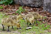 pic of mother goose  - Search of the food by the young cackling geese - JPG