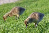 foto of mother goose  - Two young cackling geese are eating the grass - JPG