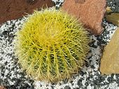 image of mother law  - Mother in laws cushion or Golden ball barrel cactus  - JPG