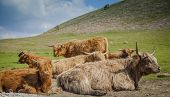 foto of highland-cattle  - Grazing Highland cattle in North York Moors National Park - JPG
