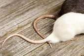 picture of rats  - Tails of rats on a wooden table - JPG