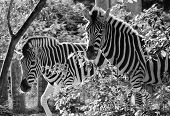 foto of camoflage  - Striped Black and white zebra at zoo - JPG