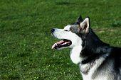 foto of husky  - dog siberian husky on green grass background - JPG