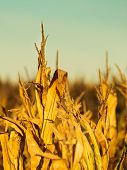 foto of corn stalk  - Dry corn field at the sunset. Agriculture ** Note: Shallow depth of field - JPG