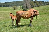 foto of foal  - Mare and her foal a meadow in a spring time - JPG