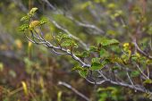 stock photo of chukotka  - dwarf alder branch with leaves closeup, Chukotka Russia