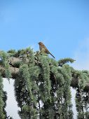 picture of weeping  - Bird on the branch of a Weeping Blue Atlas Cedar - JPG