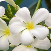 stock photo of frangipani  - White and yellow Plumeria spp - JPG