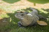 picture of yucatan  - Iguana on grassy patch curiously looking at you with left eye Yucatan Mexico - JPG