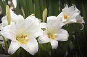 picture of easter lily  - A lovely white Easter lily in bloom - JPG