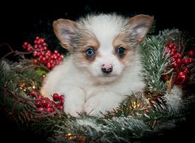 image of puppy christmas  - Very cute puppy laying in pine christmas decor with berries and Christmas light around her on a black background - JPG