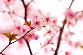 picture of cherry-blossom  - Sakura spring blossoms - JPG