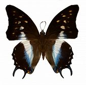 tropical blue and black butterfly isolated on white background